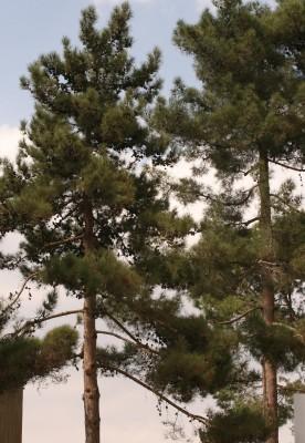 Pinus brutia Ten.