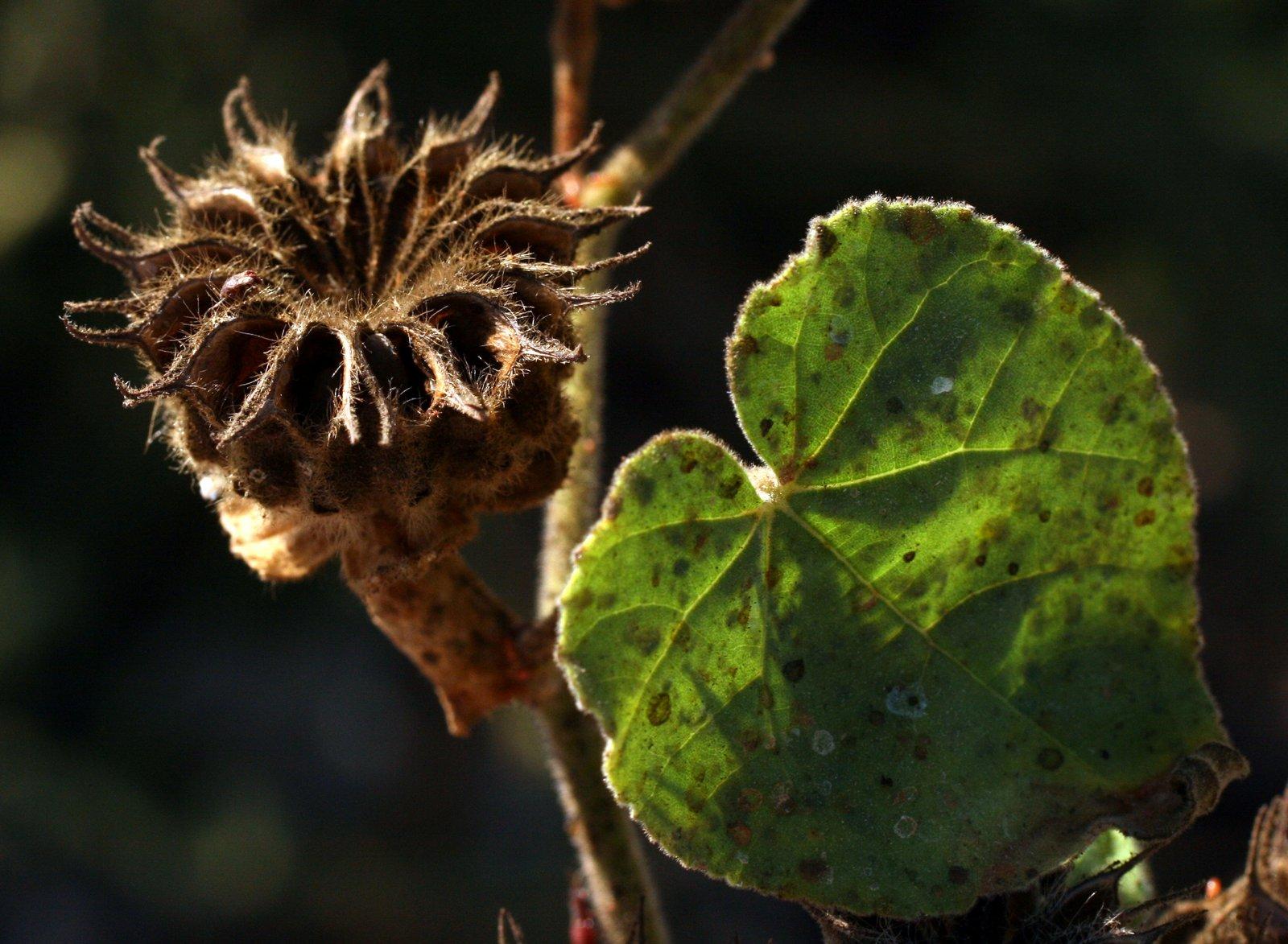 Abutilon Theophrasti Medik Flora Of Israel Online