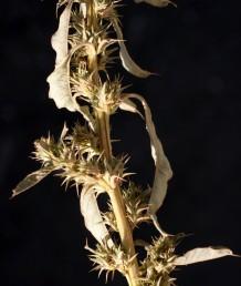 צמחים דו-ביתיים. הפרחים הנקביים בעלי 5 עלי-עטיף. החפיות דוקרניות עד קוצניות, ארוכות פי 3 מעלי-העטיף14848.