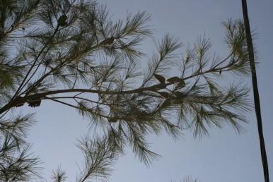 ענפי העץ יוצאים בזווית חדה לגזע העיקרי.