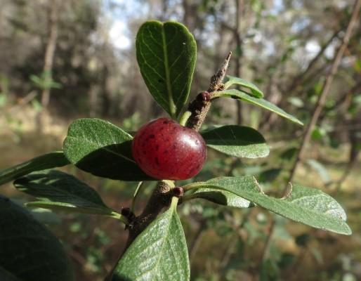 אשחר ארץ-ישראלי Rhamnus lycioides L.