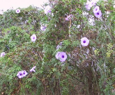 לפופית כפנית Ipomoea cairica (L.) Sweet
