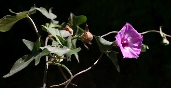 לפופית משולשת Ipomoea triloba L.