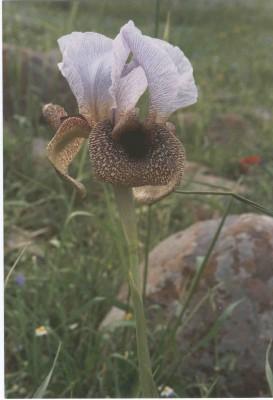 אירוס הגולן Iris hermona Dinsm.