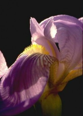 Iris mesopotamica Dykes