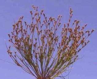 צמחים חד-שנתיים. הפרחים ערוכים בתפרחת דו-קרנית רפה.