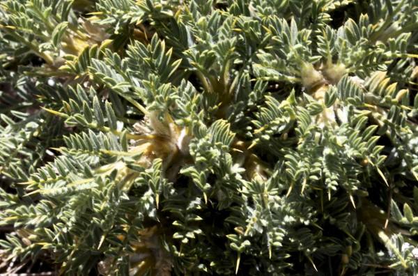 Astragalus echinus DC.