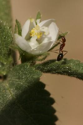 היביסקוס סגלגל Hibiscus micranthus L.f.