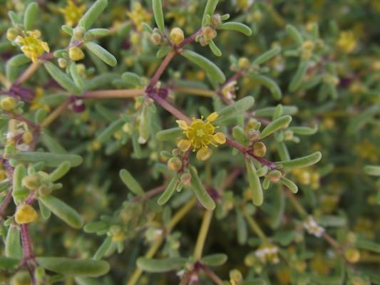 זוגן פשוט Tetraena simplex (L.) Beier & Thulin