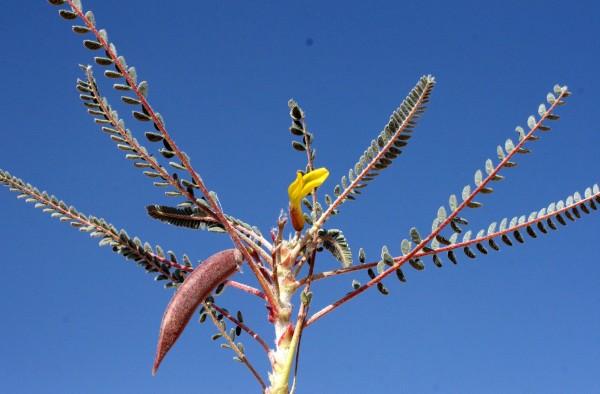 קדד סיבר Astragalus sieberi DC.