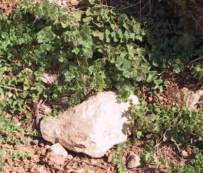 עפעפית עגולת-עלים Kickxia spuria (L.) Dumort.