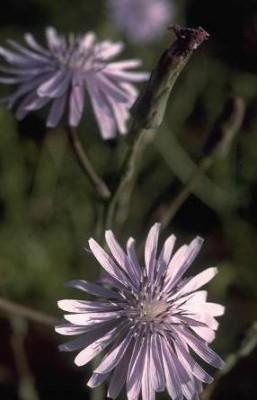 חסה כחולת-פרחים Lactuca tuberosa Jacq.