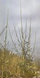 עשבים דו-שנתיים או רב-שנתיים, הצמח יוצר בתחילה שושנת עלים גדולים ומעליה גבעול נושא תפרחות שעליו קטנים.