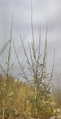 חסת השבטים Lactuca viminea (L.)J. & C.Presl.