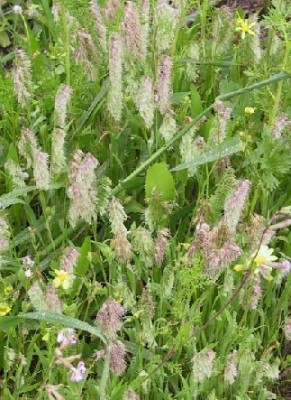 משערת זהובה Lamarckia aurea (L.) Moench