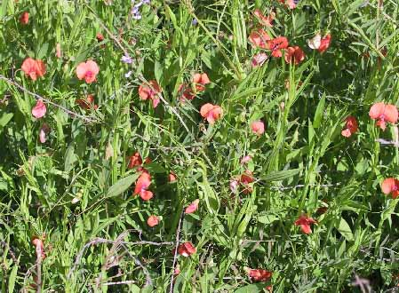 טופח ריסני Lathyrus blepharicarpos Boiss.