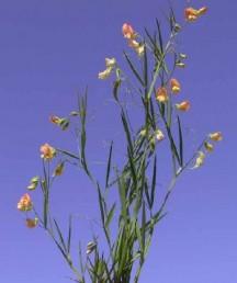 התפרחות בנות 5-2 פרחים