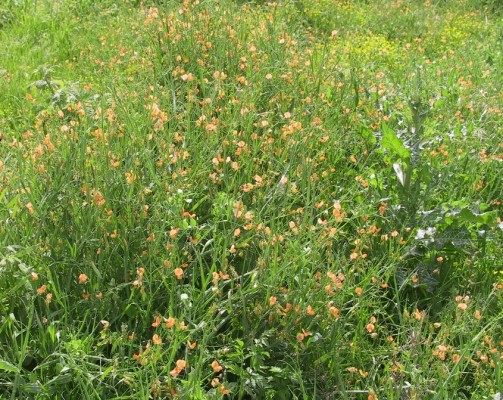 טופח ירושלים Lathyrus hierosolymitanus Boiss.