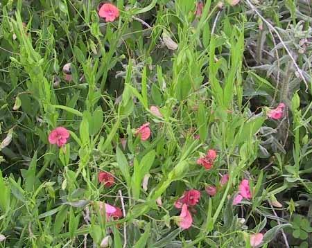 טופח נאה Lathyrus marmoratus Boiss. & Blanche