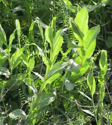 טופח גדול Lathyrus ochrus (L.) DC.