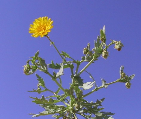 Launaea angustifolia (Desf.) Kuntze