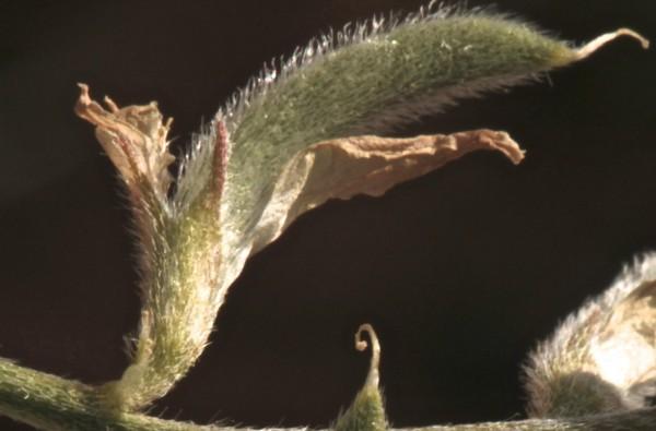 קדד מדברי Astragalus arpilobus Kar. & Kir.