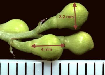 הפירות כדוריים ולעיתים פחוסים מעט, 3-4 ממ' קוטרם.