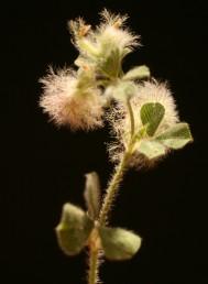 בקרקפת צעירה 2-1 (-3) פרחים פורים.