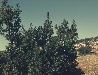 עצים או שיחים של החורש בצפון הארץ.