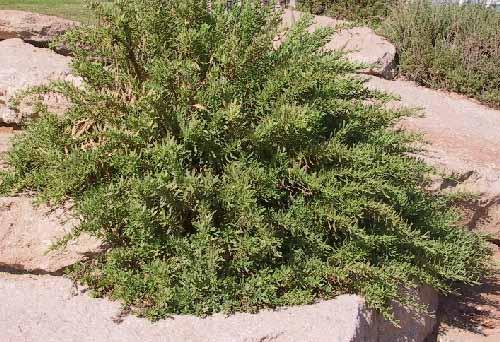 בן-טיון בשרני Limbarda crithmoides (L.) Dumort.
