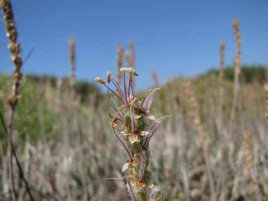 לחך מלבין Plantago albicans L.