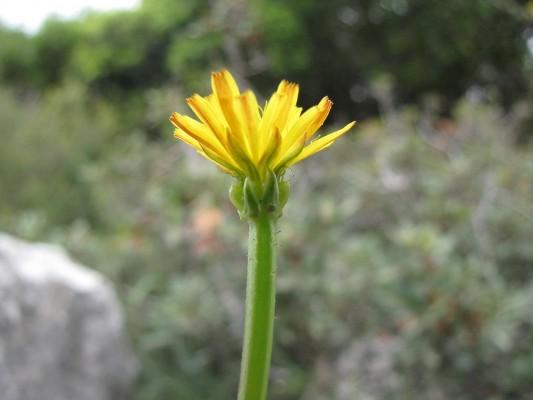 ניסנית מיובלת Crepis zacintha (L.) Babc.