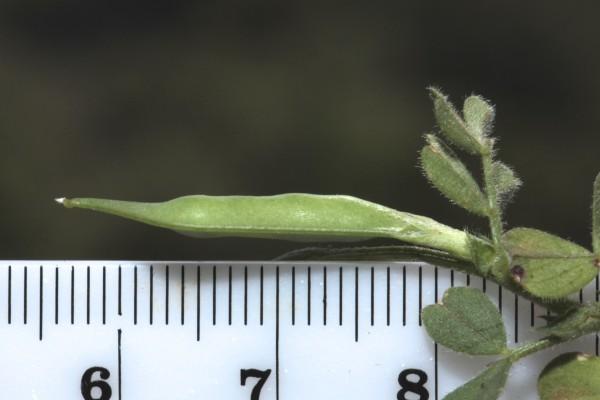 בקיה חדודה Vicia cuspidata Boiss.