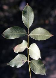 ציר העלה גלילי (אינו מכונף); מספר העלעלים אינו זוגי וראשם מחודד. הצד העליון של העלה אינו מבריק.