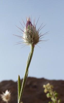 זגאה ארגמנית Zoegea purpurea Fresen.