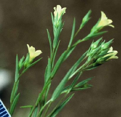 פשתת המכבד Linum corymbulosum Rchb.