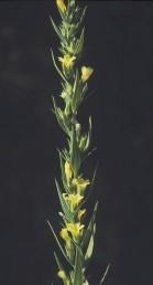 צמחים חד-שנתיים בעלי עלים מחוספסים וגבעולים אשונים. התפרחת צפופה דמוית שיבולת.