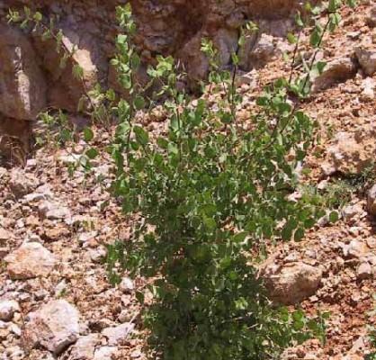 יערת המטבעות Lonicera arborea Boiss.
