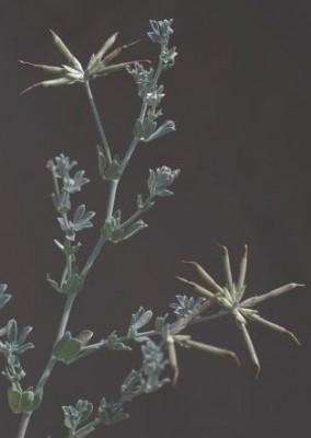 לוטוס מכסיף Lotus creticus L.