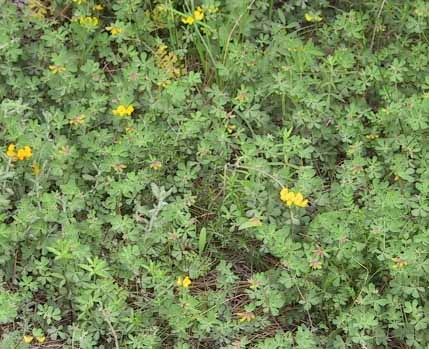 לוטוס יהודה Lotus longesiliquosus R. Roem.