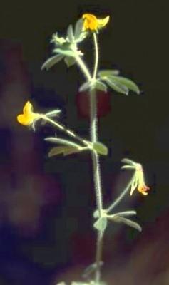 לוטוס הביצות Lotus palustris Willd.