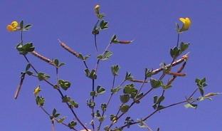 לוטוס מצוי Lotus peregrinus L.