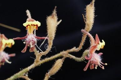 צמחים חד-שנתיים נמוכים המכוסים בחלקם העליון שערות בלוטיות דביקות. אורך הפרחים עד 10 מ