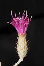 הפרחים ורודים, הציצית באורך שווה כמעט לאורך הזרעון