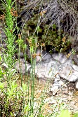 סמר אפרפר Juncus inflexus L.