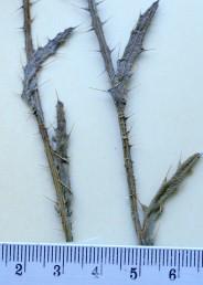 העלים העליונים סורחים, אך הכנפיים יורדות לאורך כל הפרק, פני העלה התחתונים מכוסים שערות בהירות הדומות לקורי עכביש.
