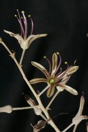 בתפרחת 30-8 פרחים. צבע עלי-העטיף ארגמן מלוכלך או חום בהיר; הם בעלי עורק אמצעי ירוק או ארגמן.