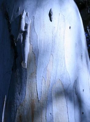 Eucalyptus camaldulensis Dehn.