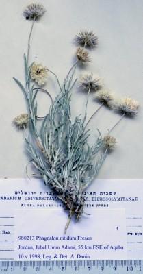 צמרנית מבריקה Phagnalon nitidum Fresen.