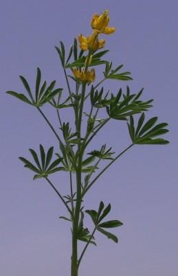 תורמוס צהוב Lupinus luteus L.